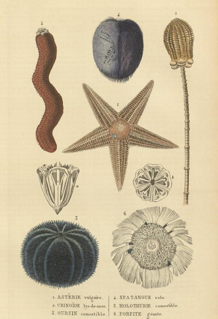 Asterie vulgaire, Crinoide lys-de-mer, Ourisin comestible, Spatangue velu, Holothurie comestible, Porpite geante