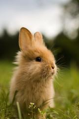 [フリー画像] 動物, 哺乳類, 兎・ウサギ, 201104261700