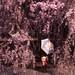 雨上がりの枝垂れ桜