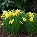 Narcissus 'Little Gem' - Dwarf Trumpet Daffodil