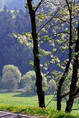 Its a wonderful time ... (Linda6769) Tags: road germany village blossom thuringia dandelion blte cherrytree blooming taraxacum lwenzahn bloomingtree kirschbaum blhend strase yellowwildflower brden landstrase blhenderbaum