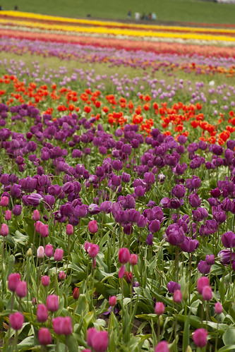 wooden shoe tulip farm 26
