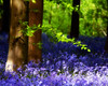 Mystic Woodland (Andrew Haynes Wildlife Images) Tags: nature bluebells woodland northamptonshire cotonmanor canon40d ajh2008