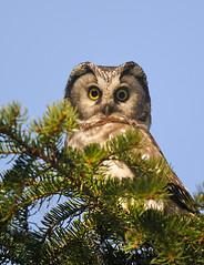 Helmipöllö (mattisj) Tags: bird explore borealowl lintu aegoliusfunereus tengmalmsowl helmipöllö
