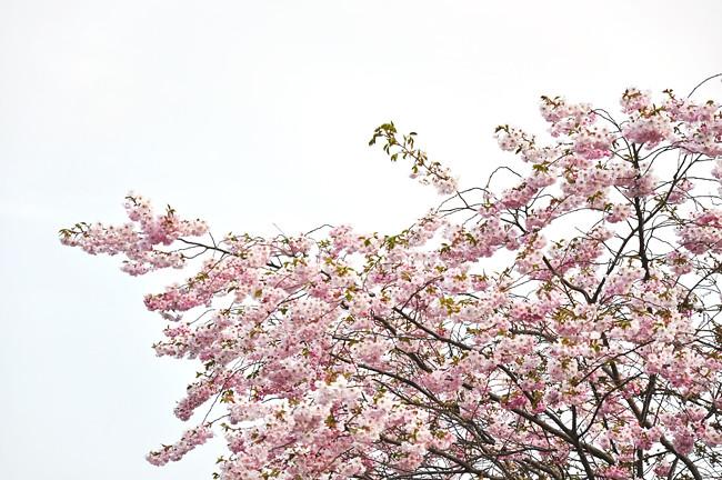 rosa fluff
