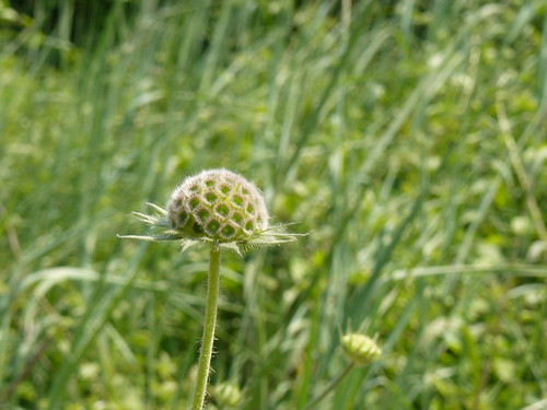 scabious (after ? or before ?)
