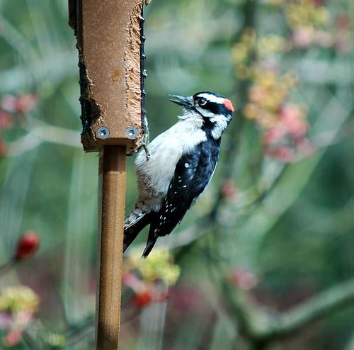 downy woodpecker male 2