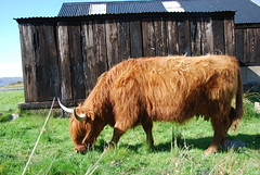 B (Mrtainn) Tags: scotland kuh cow highlands alba escocia ku ko mucca highlandcattle alban szkocja krava koei vache esccia vaca koe schottland kou westerross schotland ecosse highlandcow lehm duirinish scozia baca lehm skottland rossshire buwch vacca skotlanti skotland krowa inek behi booa broskos  b govs b baqra esccia  skcia karv tehn kr albain bugh krva gussa  iskoya   vac gidhealtachd buoch taobhsiarrois siorramachdrois scoia  melkeku vatga kgv ca vca vaia diirinis