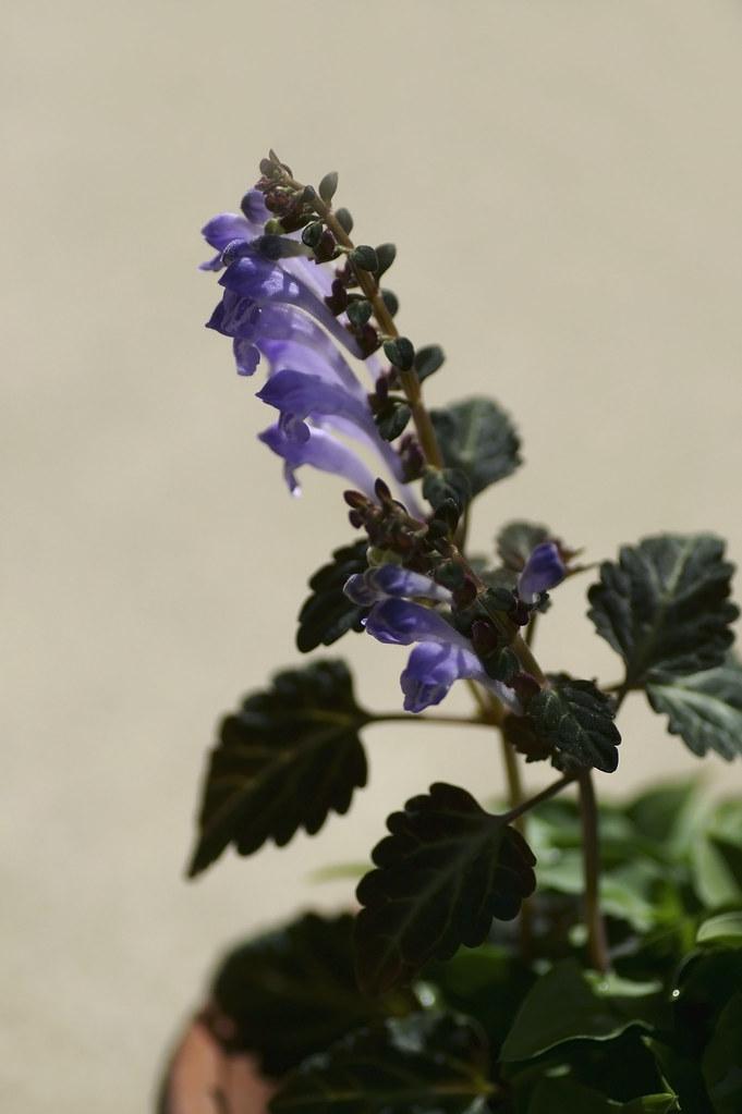Scutellaria laeteviolacea