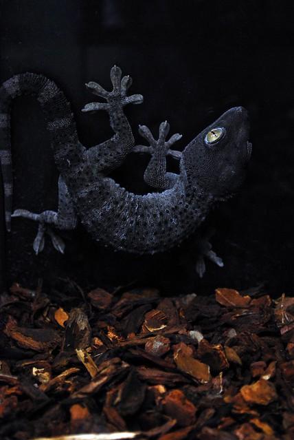 Tokay Gecko Morphs - Reptile Forums