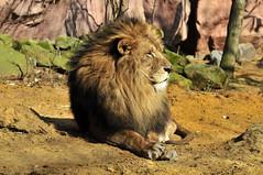 Löwe (Michael Döring) Tags: gelsenkirchen bismarck zoomerlebniswelt zoo löwe lion af80400 d300 michaeldöring inexplore