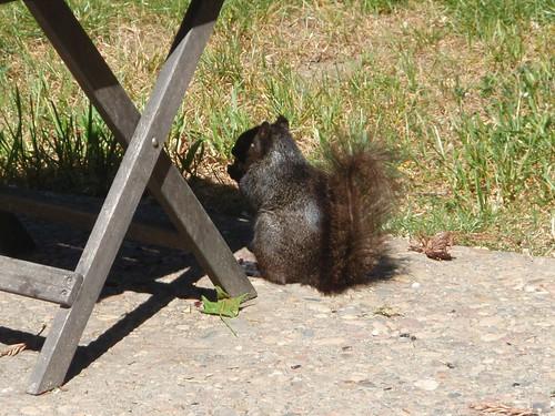 1blk squirrel christina fredrrickson livermore