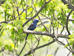 Blue Grosbeak (Ruthie Kansas) Tags: blue bird clinton kansas grosbeak birdwatcher bluegrosbeak somethingblueinmylife