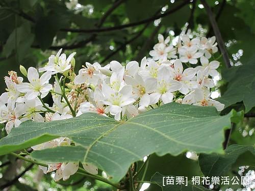 苗栗樂活桐花公園152