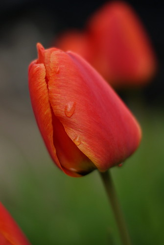 Tulip in the Rain