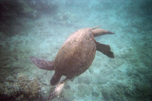 Sea Turtle at Honokeana Bay (3)