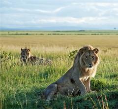IMG_1271_Good morning Welcome to Masai Mara (maqsmughal) Tags: wild lens kenya wildlife canon5d bigcats wildcats masaimara 70200f28lis malelions maqs predetors naturesgreenpeace