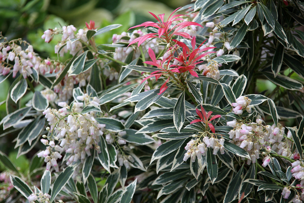 Flaming Silver Japanese Pieris