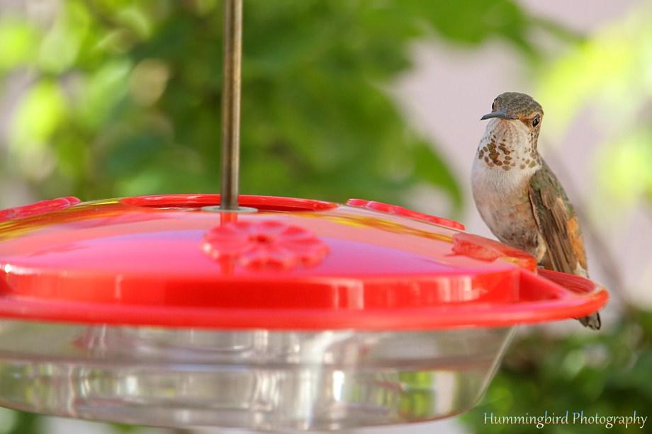 Allen's Hummingbird 052711