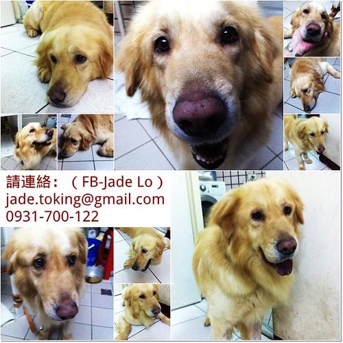 「認養推」台北從員林收容所救出耐過犬瘟的黃金獵犬貝克漢弟弟,只剩愛麗西體持續治療中,您是他最後的幸福嗎?20110530