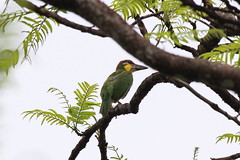 Gold Whiskered Barbet (Hiyashi Haka) Tags: barbet  whiskered chrysopogon gold megalaima krau forestmalaysia
