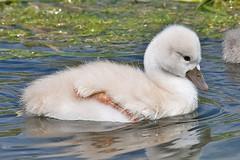 027011-IMG_1559 Mute Swan Cygnet (Cygnus olor) (ajmatthehiddenhouse) Tags: uk bird kent muteswan cygnusolor cygnus olor 2011 worthmarshes tfowb