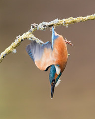 Dive (Andrew Haynes Wildlife Images) Tags: bird nature dive kingfisher worcestershire ajh2008