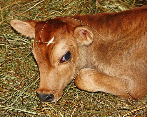 Honey's New Calf!