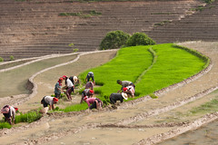 Rice terrace (peterderooij) Tags: food field work asia rice farming vietnam labour effort agriculture sapa vn vitnam