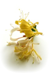 Honeysuckle  2 (♥ Katie ann. Off more than on.) Tags: supershot fantasticflower supershots flickrbronzeaward heartsaward dreamsilldream livingjewelsofnature