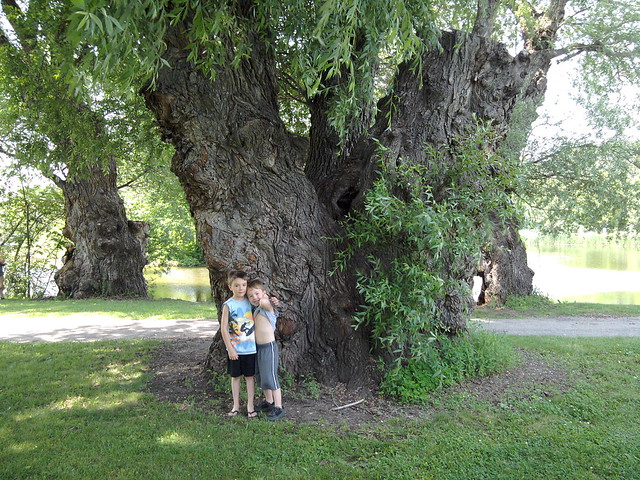 The boys & the big tree (#2)