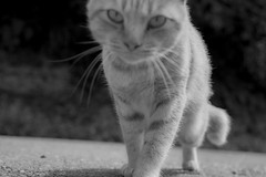 - Stray Cat (Greg Tokyo) Tags: cat stray japan bw black white animalplanet