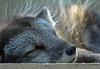 Eisfuchs-1795 30x20 (herrmann.bruchkoebel) Tags: opelzoo tier outdoor eisfuchs artic fox whitefox