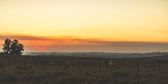 Anochecer de un da fro. (Pablin79) Tags: field sky landscape fog sunset winter cold light outdoor tree grass silhouette colors evening horizon dawn horses outdoors dusk daylight afternoon argentina silhouettes misiones posadas noperson