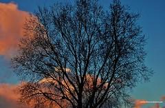 DSC_8774  Mi olmo entre las nubes. (Aprehendiz-Ana La) Tags: atardecer olmo ciudad barrio vereda calle city ramas hornero fotografa flickr nikon analialarroud nubes luz naturaleza nature argentina contraluz cielo nwn