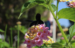 Holzbiene (kaistaudinger) Tags: insekt blume pflanze schwarz selten portugal canon 700d tamron 18270mm