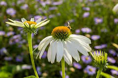 Echinacea (Yunhyok Choi) Tags: echinacea pentax pentaxk3 botany closeup coneflower daisy flora flower landplant nature petal plant seoul southkorea kr