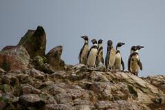 Humboldt penguins (fabioresti) Tags: pinguini penguins humboldt bahiaparacas baia per riservanaturale canoneos80d 55250