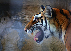 Shre5an!!! (Abdulaziz Al-Manni ||  ) Tags: orange zoo tiger doha nmr do7a    almannai   shre5an maokly mawkly z2eer  aalmannai
