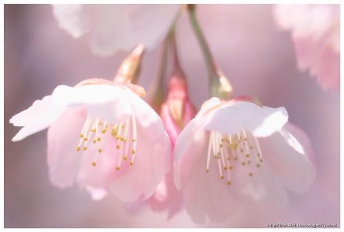 Sakura 110328 #02