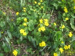 Kingcup (Marsh marigold) (davidshort) Tags: marshmarigold savillgarden calthapalustris kingcup 2011 blatouchbahenn