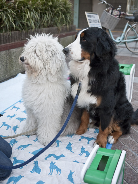 Therapy dogs raising money in Yokohama, Japan