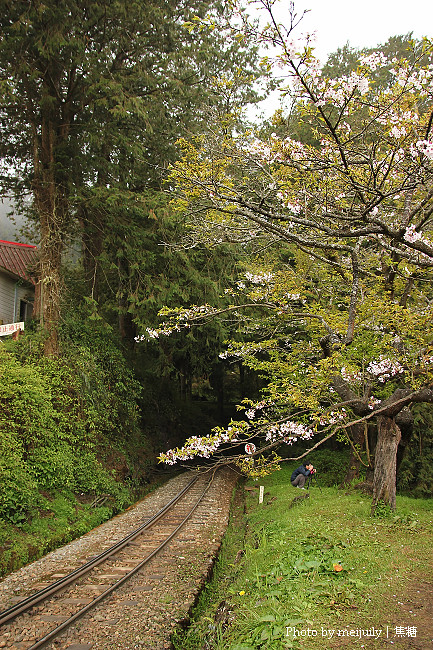 阿里山櫻花季陰天版24