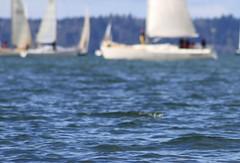 A sailor is an artist whose medium is the wind (s.s.minnow) Tags: ocean seattle water sailboat waves sailing wind sail ballard sailboats scavengerhunt goldengardens shilshole seattlewa viewbug