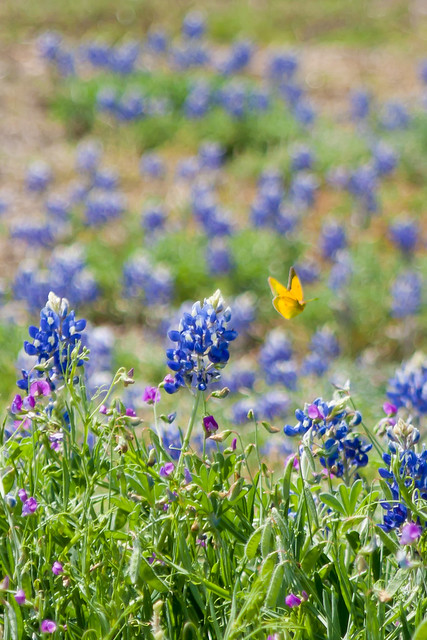 B is for Bluebonnet and Butterfly