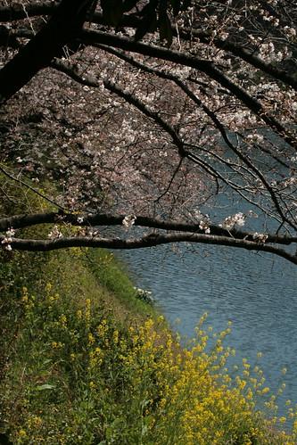 Sakuras en Chidorigafuchi