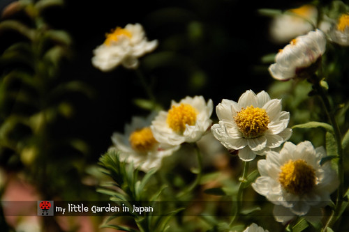 my-new-little-garden-in-japan3