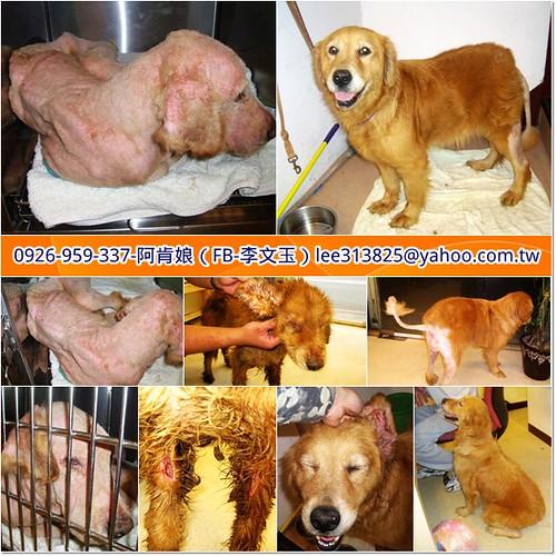 「支援助認養」從淡水救援兩隻被遺棄的黃金獵犬姊妹,醫療隔離中,需要醫療資源,也徵助認養喔~謝謝您!20110408