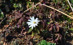 アズマイチゲ Anemone raddeana