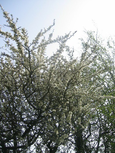 Blackthorn April 2011